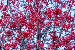 Helle rote Ebereschenbeeren auf einem Baum, der keine Blätter hat Lizenzfreie Stockbilder