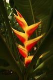 Helle rote heliconia Blumen tauchen von den dunklen Schatten in Florida auf Lizenzfreies Stockfoto
