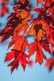 Helle rote Herbstblätter Stockfotografie