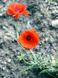 Helle rote Mohnblumen Stockfoto