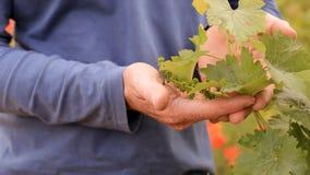 Helle rote Mohnblumen in einem Weinberg stock video footage