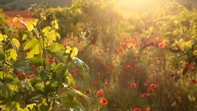 Helle rote Mohnblumen in einem Weinberg stock video