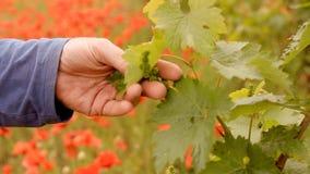 Helle rote Mohnblumen in einem Weinberg stock footage