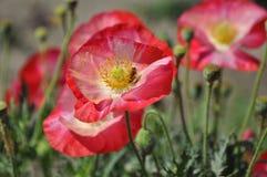 Helle rote Mohnblumen mit Biene lizenzfreies stockbild