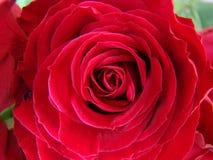Helle rote Rosen lizenzfreie stockbilder