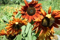 Helle rote Sonnenblumen an einem sonnigen Tag Lizenzfreie Stockbilder