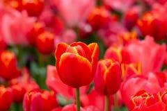 Helle rote Tulpe auf dem Hintergrund eines Tulpenfelds lizenzfreie stockfotos