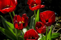 Helle rote Tulpen Lizenzfreie Stockfotografie