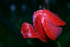 Helle rote Tulpenblume nach Frühlingsregen stockfoto
