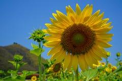 Helle schöne gelbe Sonnenblume der Nahaufnahme, die natürliches Blütenstaubmuster, Biene und buntes weiches Blumenblatt mit unsch stockbilder
