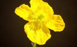 Helle schreiende gelbe Mohnblumenblume lokalisierte nah oben gegen schwarzen Hintergrund Lizenzfreie Stockfotografie