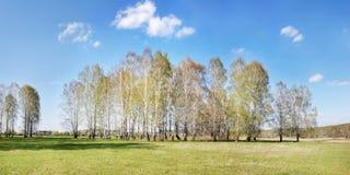 Helle Sommerlandschaft mit weniger Birkenwaldung Stockfoto