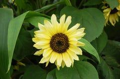 Helle Sonnenblume stockbilder
