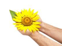 Helle Sonnenblume in den Händen des Mannes Stockfotos