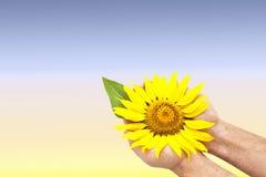 Helle Sonnenblume in den Händen des Mannes Lizenzfreie Stockfotografie