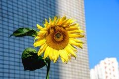 Helle Sonnenblume der Nahaufnahme beleuchtete durch Sonnenlicht am warmen Tag des Herbstes auf dem Hintergrund des hohen Gebäudes Lizenzfreie Stockfotos