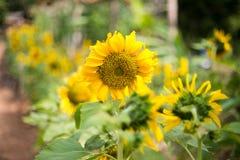 Helle Sonnenblume der Natur Lizenzfreies Stockfoto