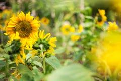 Helle Sonnenblume der Natur Lizenzfreie Stockfotografie