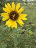 Helle Sonnenblume der Natur verlässt natürlich Lizenzfreies Stockbild