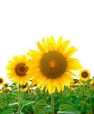 Helle Sonnenblumen auf dem Gebiet Lizenzfreies Stockbild