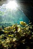 Helle Strahlen, die auf Lilienauflagen in einem cenote fallen Stockfoto