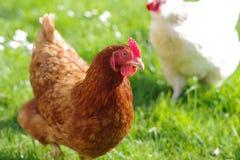 Helle Sussex-Henne und rote Henne, die in ein Feld an einem sonnigen Tag läuft lizenzfreies stockfoto