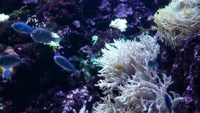 Helle tropische Fische schwimmt im reinen Wasser unter Korallen stock video footage