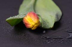 Helle Tulpe in den Wassertröpfchen Lizenzfreie Stockfotos