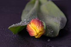 Helle Tulpe in den Wassertropfen Lizenzfreie Stockbilder