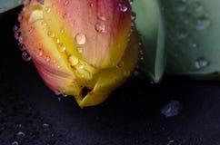 Helle Tulpennahaufnahme in den Wassertröpfchen Lizenzfreies Stockbild