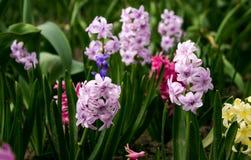 Helle und bunte Hyazinthe im Blumenbeet im Garten Lizenzfreie Stockfotos