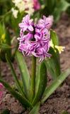 Helle und bunte Hyazinthe im Blumenbeet im Garten Lizenzfreies Stockfoto