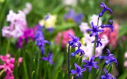 Helle und bunte Hyazinthe im Blumenbeet im Garten Stockbilder