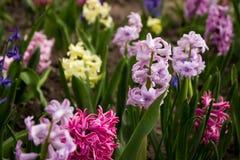 Helle und bunte Hyazinthe im Blumenbeet im Garten Stockfotografie
