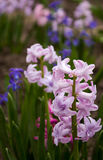 Helle und bunte Hyazinthe im Blumenbeet im Garten in s Lizenzfreies Stockfoto