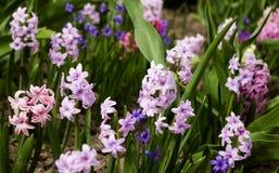 Helle und bunte Hyazinthe im Blumenbeet im Garten in s Stockbilder