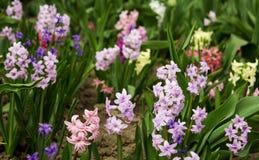 Helle und bunte Hyazinthen im Blumenbeet im Garten herein Lizenzfreies Stockbild