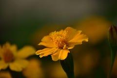 Helle und lebhafte gelbe Ringelblume lizenzfreie stockbilder
