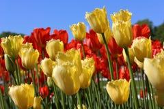 Helle und saftige blühende Tulpen der gelben und roten Farbe Lizenzfreie Stockfotos