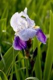 Helle weiße und blaue Iris Sommerblüte im Garten Stockbilder