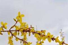 Helle yelow Forsythie blüht auf einem weichen grauen Himmel, selektiver Fokus Lizenzfreie Stockfotografie