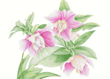 hellebore Royalty Free Stock Photos