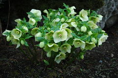 hellebore Photo stock
