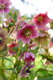 Hellebore photos stock