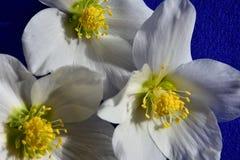 Hellebore, harbinger of spring Stock Photo