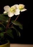 Hellebore-blomma Royaltyfri Bild