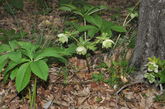 Hellebore blooms Stock Photography
