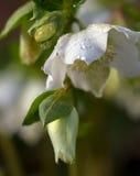 Hellebore branco fotos de stock