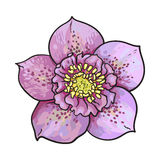Hellebore, Christmas rose single purple flower, top view Royalty Free Stock Images