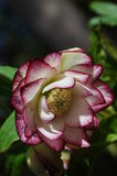 Hellebore Stock Image